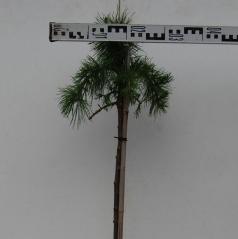 Larix decidua Puli on shtambe 1,2cm