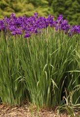 Ірис сибірський <br>Iris sibirica <br> Ирис сибирский