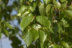 Береза Doorenbos листя