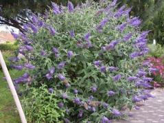 Будлея Давида Лочінч цвітіння