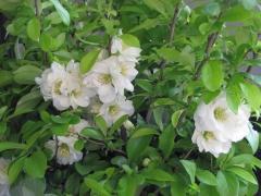 Айва красива Yukigoten цвітіння