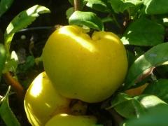 Айва махрова Юкіготен плоди