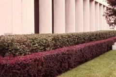 Барбарис Тунберга Атропурпуреа Нана в живой изгороди с зелёнолистным барбарисом