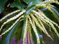 Каштан посівний цвітіння