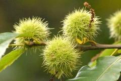 Каштан спосівний / їстівний плоди