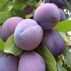 Слива домашня Анна Шпет (пізня) <br>Слива домашняя Анна Шпет (поздняя) <br>Prunus domestica Anna Shpet