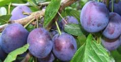 Prunus domestica Anna Shpet