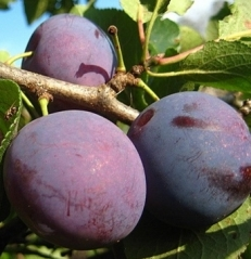 Слива домашня Anna Shpet плоди