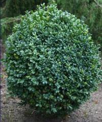 Самшит вічнозелений Блауер Хайнц<br>Самшит вечнозелёный Блауэр Хайнц <br>Buxus sempervirens Blauer Heinz