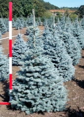 Picea Blue Diamant