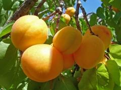 вірменське яблуко