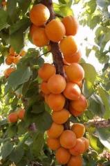 Apricot tree Poleskiy krupnoplodniy
