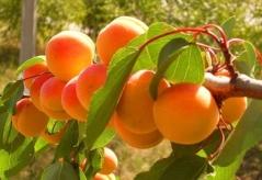 Apricot tree Krasen Kieva