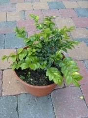 Самшит вічнозелений Маргіната<br>Самшит вечнозелёный Маргината <br>Buxus sempervirens Marginata