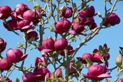 Магнолія суланжа Джені<br>Magnolia soulangiana Genie<br>Магнолия суланжа Джени