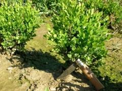 Самшит вічнозелений 'Suffruticosa'