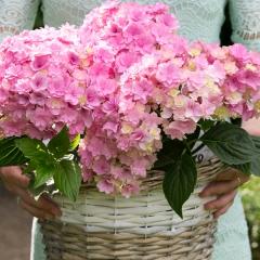 Гортензія великолиста Ю енд мі Тугезе<br>Hydrangea macrophylla You & Me Together<br>Гортензия крупнолистная Ю энд Ми Тугезе