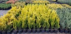 Кипарисовик лавсона Івонне жовтий