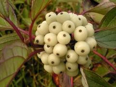 Дерен белый Кессельринги плоды