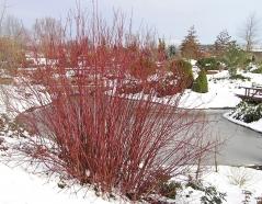 Дерен белый зимой