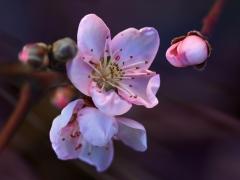 Квіт Нектарин Біг Топ
