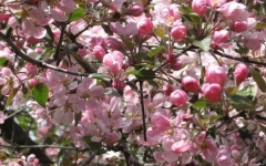 Prunus cerasus Nochka