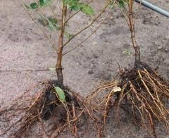 Вишня Нічка голий корінь