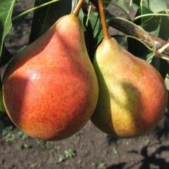 Груша Бере Жиффар плоди