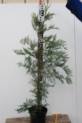 Купрессоципаріс Лейланда висота 90 см