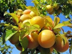 Слива біла Медова (рання)<br>Слива белая Медовая (ранняя)<br>Prunus domestica Medova