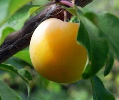 Prunus domestica Medova