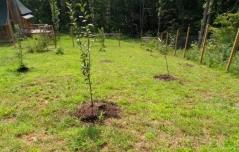 Prunus domestica Kubans`ka посадка
