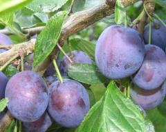 Слива домашня Кубанська плоди