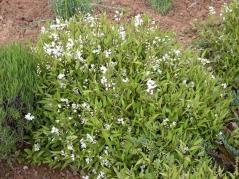 Deutzia gracilis 'Nikko' (Deutzia crenata) 'Nikko'