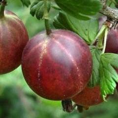 Крыжовник Оксамит плоды