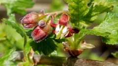 Агрус Сварог цвітіння