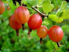Агрус Сварог плоди