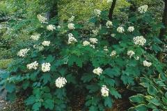Hydrangea quercifolia Snow flake