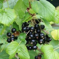 Смородина чорна Титанія (середня)<br>Смородина чёрная Титания (средняя)<br>Ribes nigrum Titania