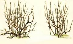 Крона смородины до и после обрезки