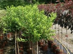 Forsythia intermedia 'Week-End' ('Weekеnd')