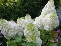 Hydrangea paniculata Phantom купить