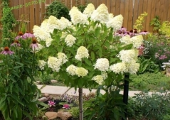 Hydrangea paniculata Phantom описание