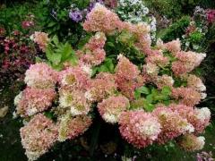 Гортензія волотиста Фантом<br>Hydrangea paniculata Phantom<br>Гортензия метельчатая Фантом
