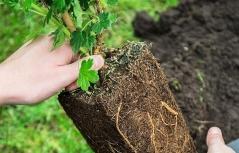 Ribes uva-crispa Grushenka кореневая система