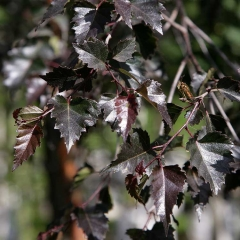Береза бородавчата Пурпуреа листя