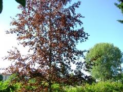 Береза Пендула Пурпуреа дерево