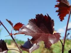 Береза плакуча Пурпуреа листок