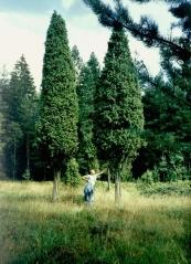 Ялівець звичайний  форма дерева