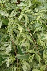 Виноград Monham листя
